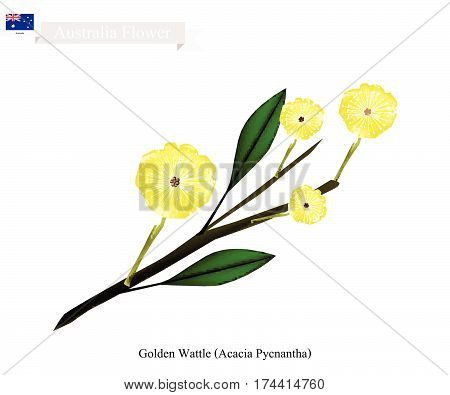 Australia Flower Illustration of Golden Wattle Flowers or Acacia Pycnantha Blossom. The National Flower of Australia.