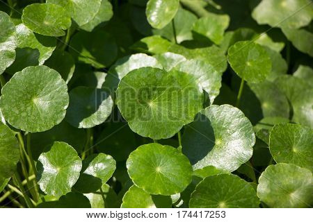 Gotu Kola Tree Or Asiatic Pennywort