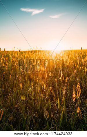 Close Up Meadow Grass In Yellow Sunlight And Bokeh, Boke Background. Later Summer Or Early Autumn Season. Blue Sunset Sunrise Sky Over Field Meadow Grass