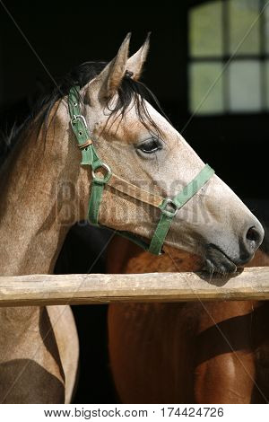 Close up portrait of a purebred horse's head in the stable