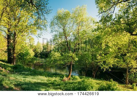 Green Willow Tree in Summer Park Forest Near River. Spring Nature Landscape In Belarus Or European Part Of Russia. Greenery,