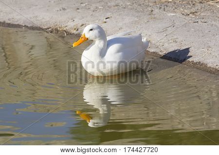 CAGLIARI - duck which is reflected in the pond of Monte Claro Park - Sardinia