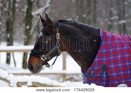 Portrait of thoroughbred sorrel horse in bridle and blanket in snow. Walking race horses during the cold season. Trotter brown color is winter in the outer paddock.