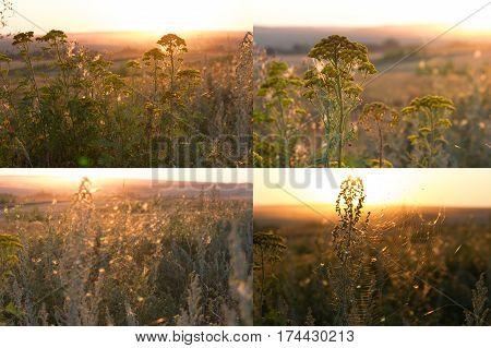 Cotton Grass Sunset