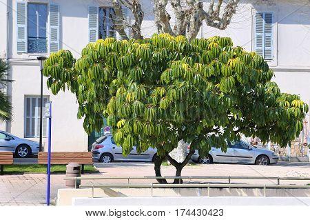 Schefflera pueckleri beautiful exotic tree on street of Menton French Riviera France