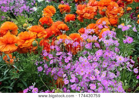Beautiful bright orange and lilac k flowers on flowerbed