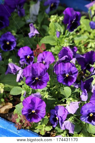 Close up of beautiful bright violet flovers