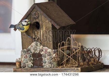 Chickadee bringing food to birdhouse - seen in Poland. Jasionka Podkarpackie Poland.