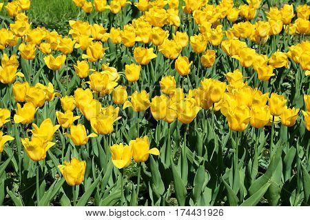 Beautiful bright yellow tulips closeup spring background