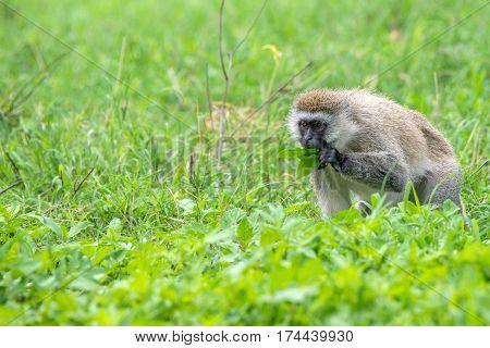 Vervet monkey or Chlorocebus pygerythrus grazing in Ngorongoro crater, Tanzania, Africa.
