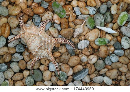 Natural Lambis Chiagra Spider Shell with another small seashells scattered on the pebble stones ground