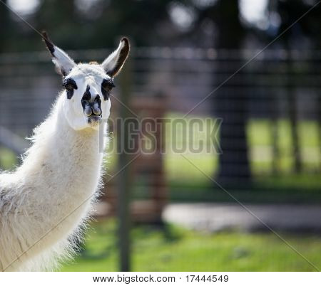 Back lit head and neck of a black spotted white llama with soft focus background