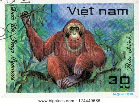 VIETNAM - CIRCA 2017: A Stamp printed in Vietnam shows monkey Orangutan Pongo Pygmaeus series Animals circa 1981