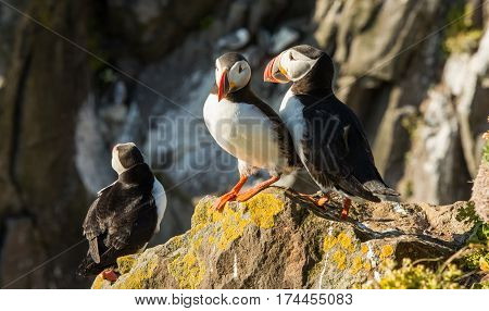 Cute common puffin bird in the landscape of Iceland