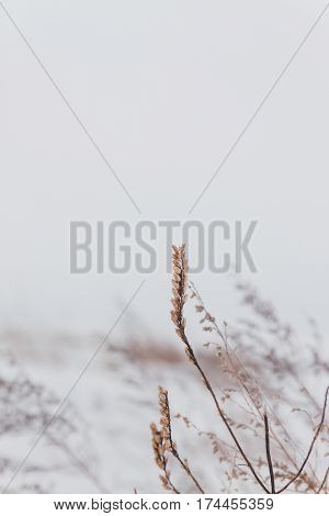 Dry Plants In The Snow