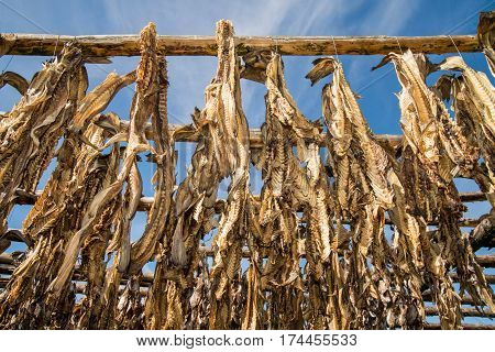 Traditional outdoor drying of codfish in Iceland