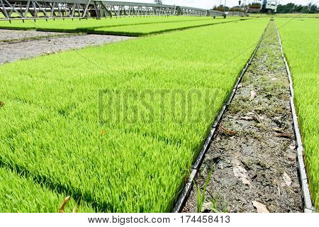 Young Rice Seedling