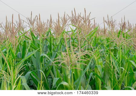 close up Green corn field in agricultural garden