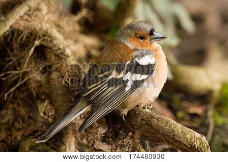 A single male chaffinch in the undergrowth