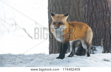 Common Red fox (Vulpes vulpes) in the wild.   Elusive wild animal emerges from a winter woodland, visits cottages & hunts, scavenges for food.