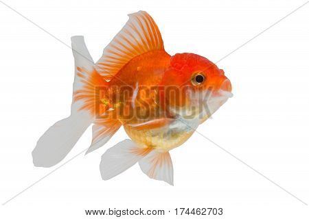 close up goldfish isolated on white background.