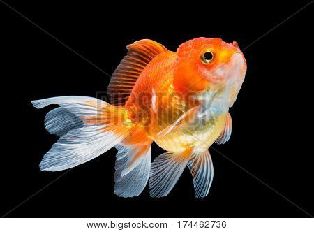 close up goldfish isolated on black background.