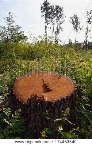 oak tree trunk stump in green spring forest