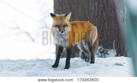 Beautiful nature, portrait of a Red fox (Vulpes vulpes) as it goes about in a winter woods.  Wild animal emerges from a winter woodland, visits cottages & hunts, scavenges for food.