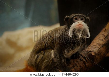 An Emperor Tamarin sitting on a branch
