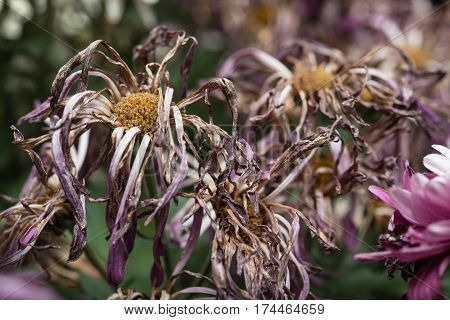 faded chrysanthemum flowers at home horizontal composition