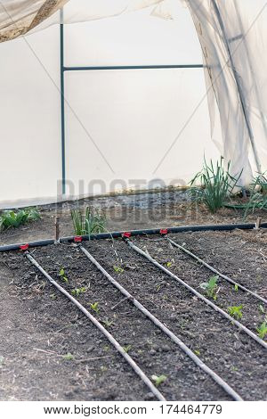 Drop By Drop Irrigation In Greenhouses. Water Saving System In T