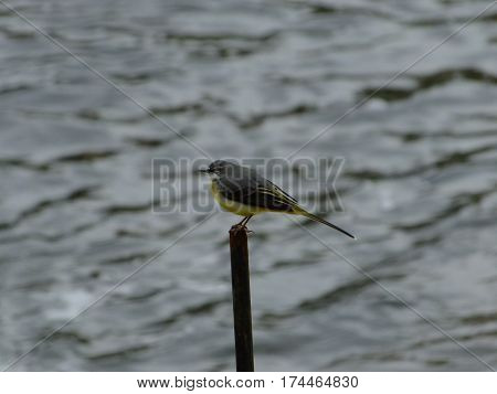 Grey wagtail perched on a post next to river