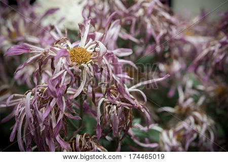 faded chrysanthemum flowers in a house horizontal composition