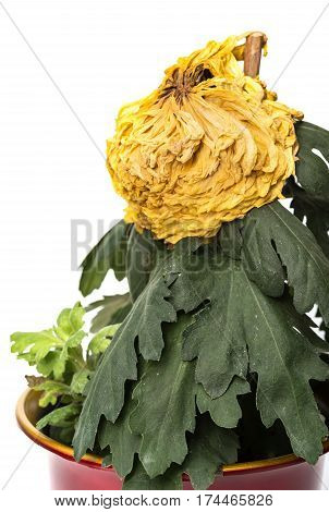 faded yellow chrysanthemum flower on a white background