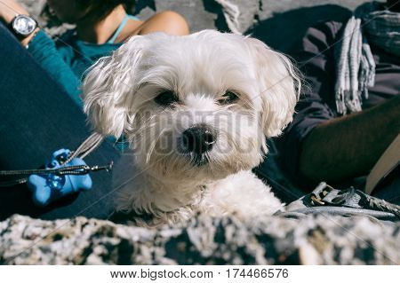 Closeup of white Maltese dog lying on the grounds looking excitedly in the camera, owners reading in the background.