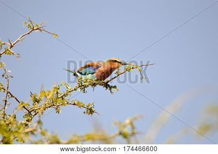 Roller with long strands on a tree in the savannah of Tsavo West park in Kenya
