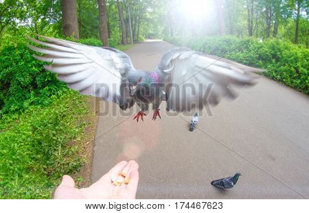 Pigeon fly on hand palm food nuts and park.
