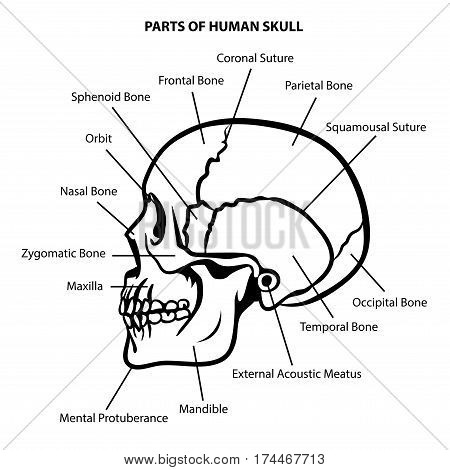 SKULL ANATOMY OUTLINE ILLUSTRATION VECTOR FOR EDUCATION