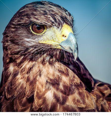 The is the Harris Hawk, an extraordinary predator.