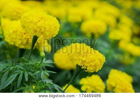 Background yellow marigold blooming beautifully naturalclose up yellow marigold