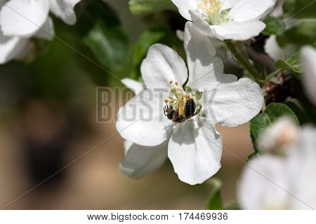 small bee insect on white apple tree flower and green leaves outdoor backround