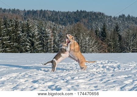 Two Struggling Dogs In A Snow