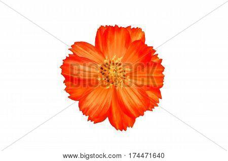 Orange cosmos flower isolated on whiteOrange cosmos with white background