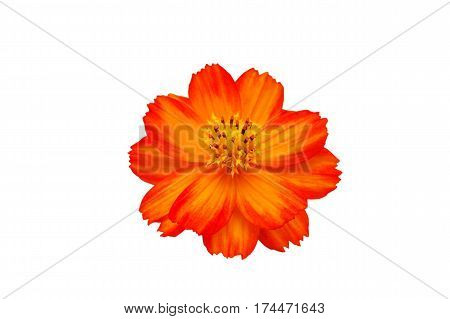 Orange cosmos flower isolated on whiteOrange cosmos with white background