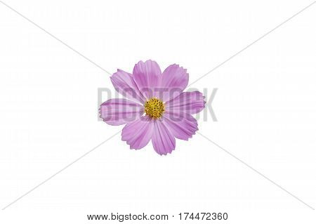 Purple cosmos flower isolated on whiteOrange cosmos with white background