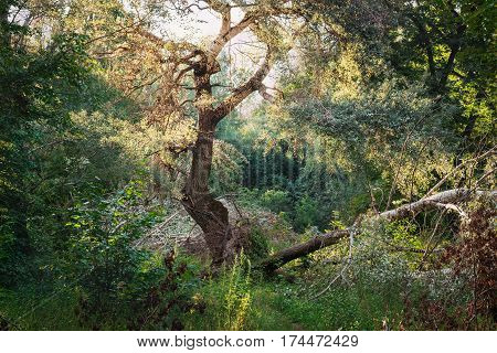 Summer nature landscape with sunlight in trees of deep green forest woods. Scenic wilderness forest of fresh green deciduous trees with warm sun rays through the foliage.
