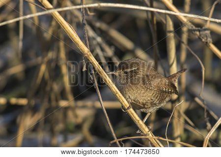 Wren (troglodytes Troglodytes)