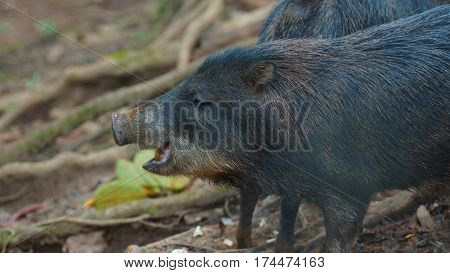 Profile view of peccary pig. Common names: Sacha kuchi, Pecarí de labio blanco, Puerco sajino, Huangana. Scientific name: Tayassu pecari