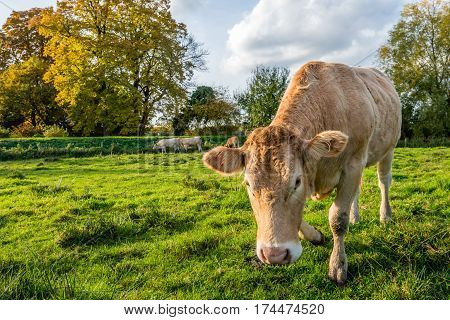 Portrait of a curiously looking young light brown cow walking to the photographer on a cloudy day in the Dutch fall season.