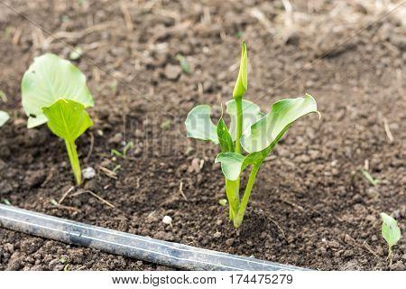 Kala Flower Growing In The Greenhouse